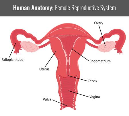 aparato reproductor: sistema reproductivo femenino anatomía detallada. Vector Ilustración médica.
