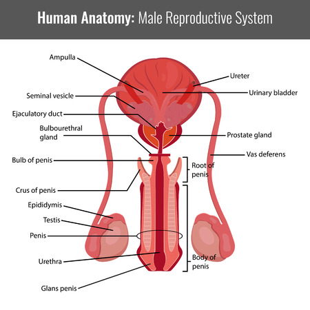 Male reproductive system detailed anatomy. Vector Medical illustration.