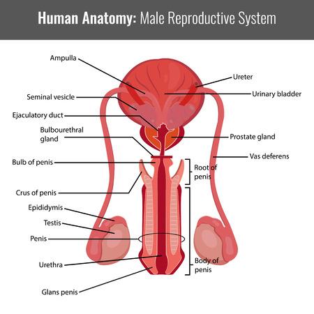 aparato reproductor: Sistema reproductivo masculino anatomía detallada. Vector Ilustración médica.