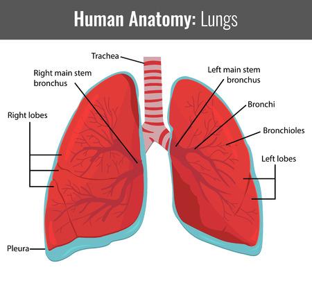 Los pulmones humanos anatomía detallada. Vector Ilustración médica. Ilustración de vector