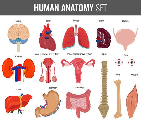 Ludzkie narządy wewnętrzne. Anatomia ustawiony. Vector, ikony