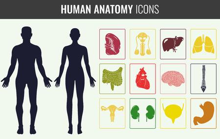 internal organ: Human internal organ anatomy set. Vector illustration Illustration