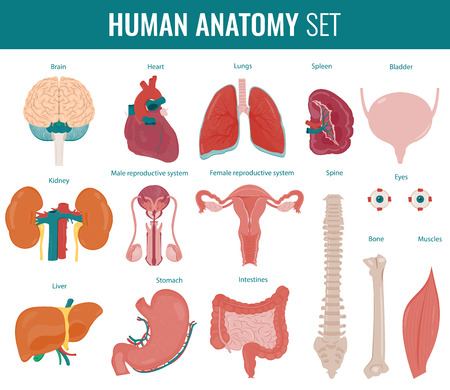 Human Internal Organs Anatomy Set Vector Icons Royalty Free