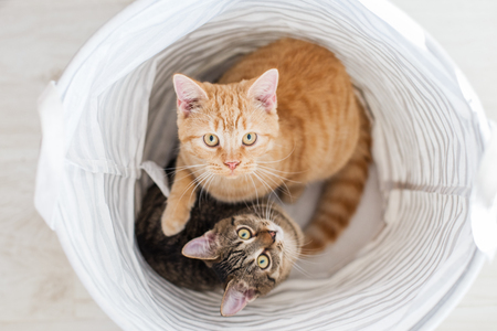 Two cats sitting in fabric basket. Looking straight towards camera 스톡 콘텐츠