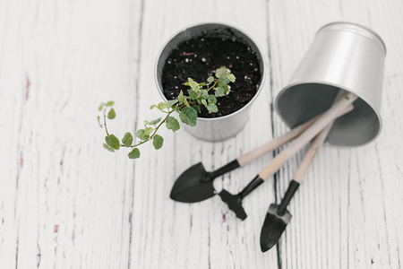 Plectranthus in zinc flowerpot and small garden tools on wooden background. Plectranthus amboinicus, Lamiaceae, Labiatae. House gardening concept