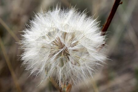dandelion magnificent air white photo