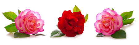 rosas rosadas: Rosas rojas y rosas aislados sobre fondo blanco. Foto de archivo