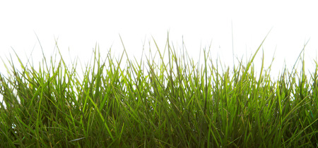 grass  plan: Green grass isolated on white background.