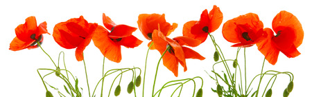 Red poppies isolated on a white background. Banque d'images
