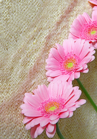 gerber flowers isolated on: Pink gerber flowers isolated on brown cloth. Stock Photo