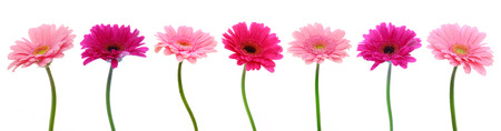 red floral: Pink gerber flowers isolated on white background.