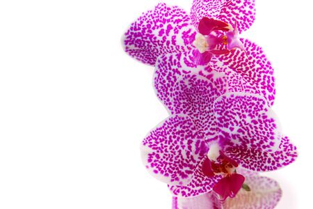 orchid branch: Pink Orchid Branch
