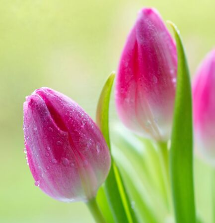 tulip: Colorful fresh spring tulips flowers with dew drops. Stock Photo