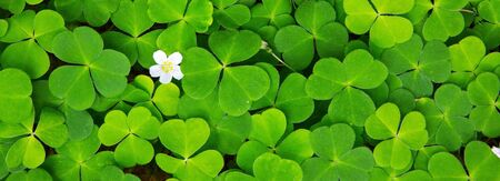 Green clover leaves background and white flower. 版權商用圖片