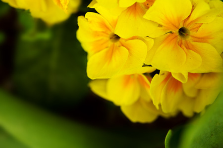 Yellow primrose macro shot.Flowers background. 版權商用圖片