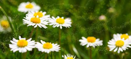 white daisies: White daisies meadow Stock Photo