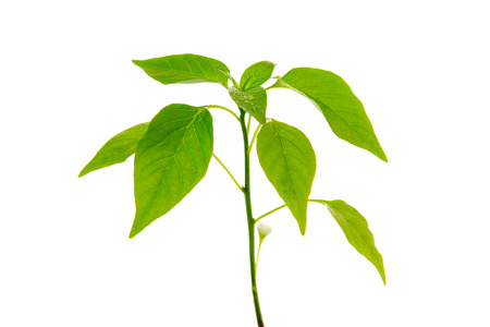Pepper plant isolated on white background.
