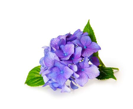 green flower: Blue Hydrangea.