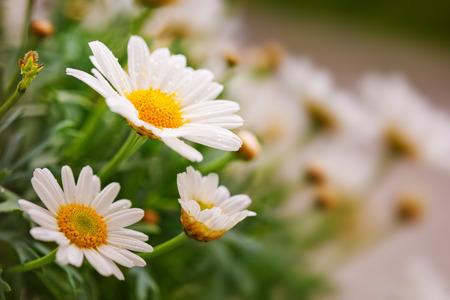 white daisies: White daisies meadow.