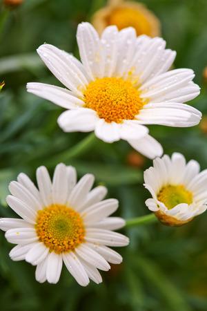 white daisies: White daisies.