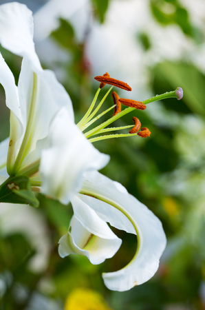 white lily: Primer plano de lirio blanco flower.White lirio. Foto de archivo