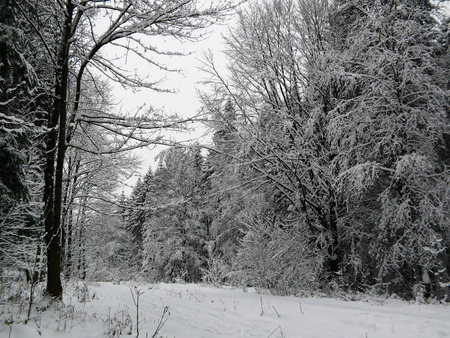 white winter: Winter landscape. Winter Forest and white snow.