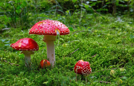 Fly-agaric in forest close up.Fly-agaric in green grass . 版權商用圖片