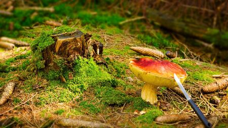 mushroom picking: Cep Mushroom Growing in Autumn Forest. Boletus growing under the tree. Mushroom picking