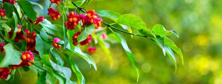 embellished: The berries of Euonymus.Euonymus tree in autumn park. This delightful plant is called Euonymus. Its graceful branches covered with bright colored leaves and embellished long earrings with berry-boxes.