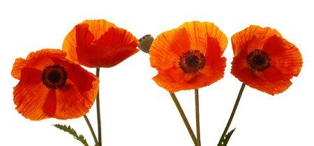 poppy leaf: Poppy flowers isolated on white background.