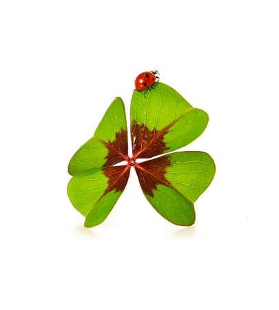 charms: Four leaf clover and ladybug isolated on white background.Green clover leaf with ladybug on a white background.Lucky charms. Stock Photo