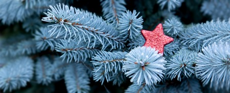 christmas stars: Blue Pine branches and red Christmas star.Christmas winter background. Stock Photo