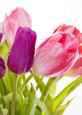 tulips isolated on white background: Bouquet of tulips on white background. Purple and pink tulips  isolated on white background.