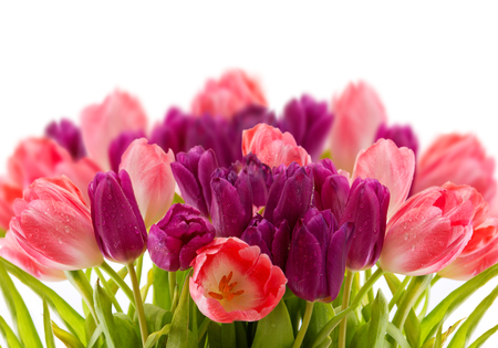 tulipan: Bouquet of tulips on white background. Purple and pink tulips  isolated on white background.