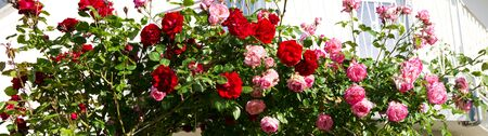 romance rose: Red and pink roses on white background.Climbing rose. Stock Photo
