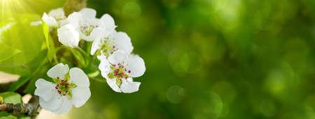 jardines con flores: Flores del árbol de pera en la garden.Sunshine primavera en el jardín de primavera. Foto de archivo