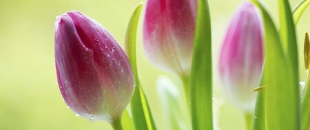 light green: Pink tulip flowers  isolated on green background.