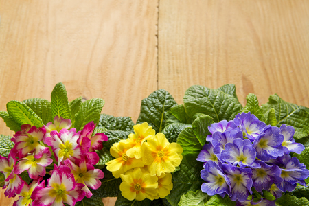 primula: Fresh colorful primula flowers isolated  on wooden background.