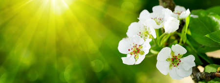 flower leaf: Pear tree blossoms in the spring garden. Stock Photo