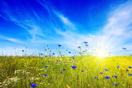 Le paysage d'été nuageux avec champ de fleurs. paysage coloré avec des fleurs meadof et bleu ciel.