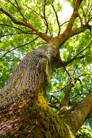 penetration: Looking up an oak tree crown with spring green foliage. Stock Photo