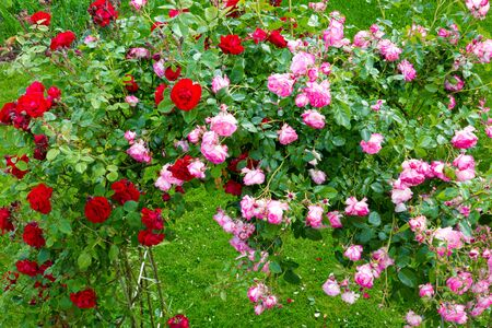 vibrant cottage: Beautiful red and pink Climbing  roses in summer garten.