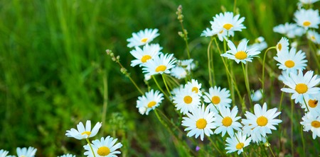 marguerites: Close up of marguerites in a marguerite sea.Green grass and chamomiles in the nature.