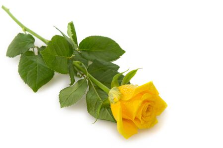 Single yellow rose isolated on white background.