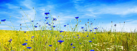 Summer cloudy landscape with flowers field . Colorful landscape with flower meadof and blue sky. Stock Photo