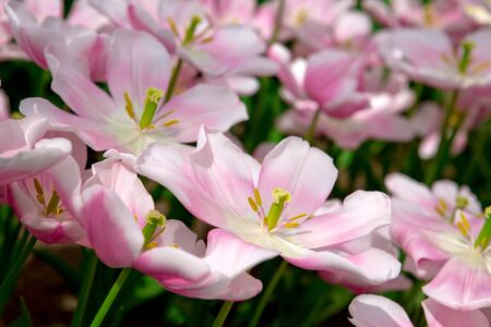 bundled: Beautiful pink tulips in the spring time.Macro shot.Close-up of closely bundled white-pink tulips. Stock Photo