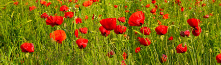 wildflowers: Red Poppies on green field.Beautiful poppy field background.