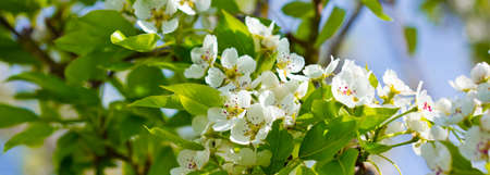 pear tree: Pear tree blossoms in the spring garden .