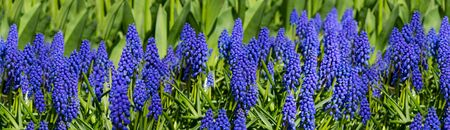 nederland: Hyacinths fields in the spring of The Netherlands.Hyacinthus orientalis.
