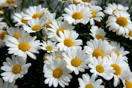 Daisy flowers background.Macro of beautiful white daisies flowers. Stock Photo